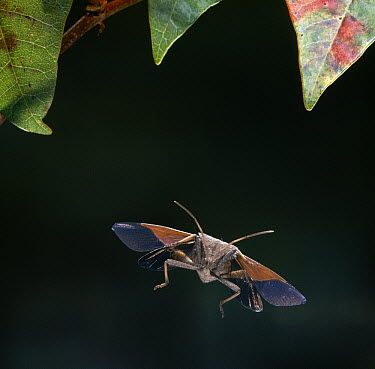 Squash Bug (Coridae) flying, Everglades National Park, Florida  -  Stephen Dalton