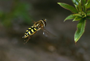 Hoverfly flying, Europe  -  Stephen Dalton