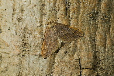 Winter Moth (Operophtera brumata) adult, pest insect that preys on deciduous plants, Oak, Maple, Ash, Apple, native to Europe, introduced into North America  -  Stephen Dalton