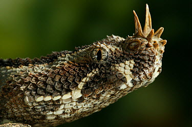 Rhinoceros Adder (Bitis nasicornis) close up, showing head and horns, native to tropical forests of central and western Africa  -  Stephen Dalton