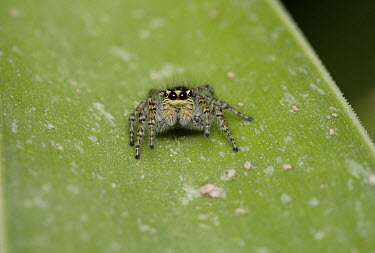 Jumping Spider (Salticidae) portrait on leaf, Cyprus, Greece  -  Stephen Dalton