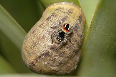 Jumping Spider (Salticidae) on snail shell, Cyprus, Greece  -  Stephen Dalton