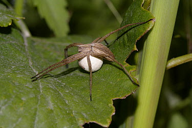 Nursery-web Spider (Pisaura mirabilis) female carrying egg sac, United Kingdom  -  Stephen Dalton