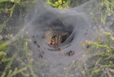 Funnel Weaver Spider (Agelena sp) in funnel web, England  -  Stephen Dalton