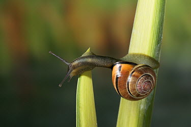Brown-lipped Snail (Cepaea nemoralis), England  -  Stephen Dalton