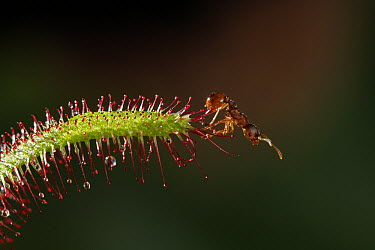 Sundew (Drosera sp) with trapped ant prey, carnivorous plant that grows in bog habitats, Europe  -  Stephen Dalton