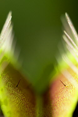Venus Fly Trap (Dionaea muscipula) showing trigger hairs, two or more hairs must be touched before the plant snaps shut, native to North Carolina  -  Stephen Dalton
