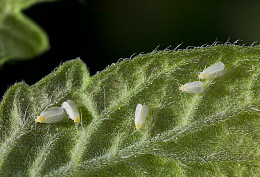 Greenhouse Whitefly (Trialeurodes vaporariorum) serious pest to food crops in greenhouses, worldwide distribution  -  Stephen Dalton