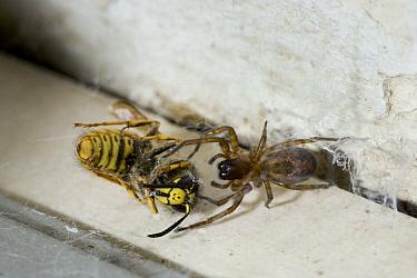 Lace-webbed Spider (Amaurobius similis) immobilizing wasp prey, England  -  Stephen Dalton