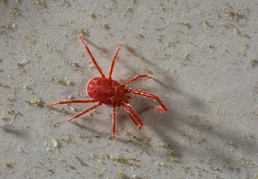 Mite in red winter coloration, pest to garden plants, England  -  Stephen Dalton