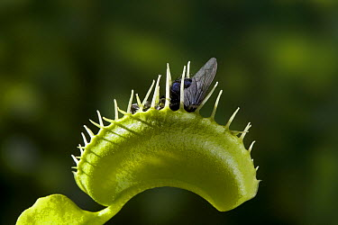 Venus Fly Trap (Dionaea muscipula) with fly prey, native to North Carolina  -  Stephen Dalton