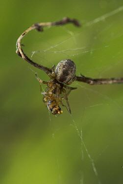 Spider (Dyctyna sp) with captured prey, Sussex, England  -  Stephen Dalton