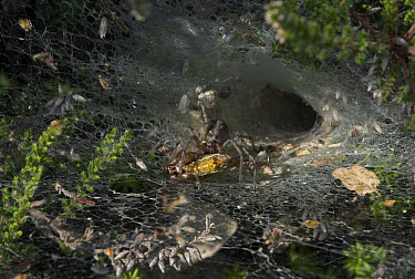 Labyrinth Spider (Agelena labyrinthica) with captured prey on sheet web, Sussex, England  -  Stephen Dalton