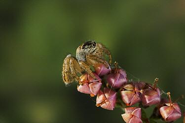 Labyrinth Spider (Agelena labyrinthica) on flowers, Sussex, England  -  Stephen Dalton
