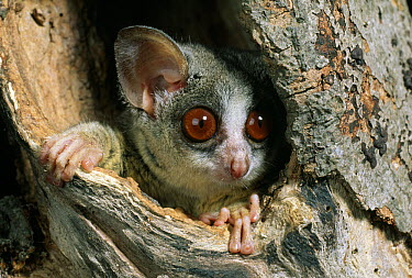 Lesser Bush Baby (Galago senegalensis) also called Lesser Galago, in tree nest, native to Africa  -  Stephen Dalton