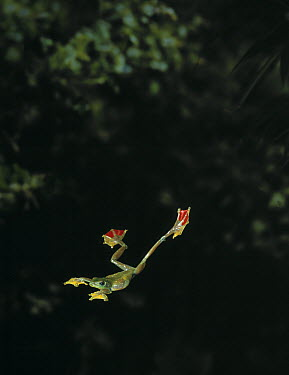 Old World Tree Frog (Rhacophorus sp) gliding between trees by extending webbed feet  -  Stephen Dalton