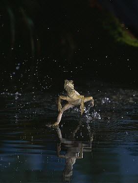 Agamid Lizard (Hydrosaurus sp) running on water, Indonesia  -  Stephen Dalton
