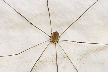 Harvestman (Leiobunum rotundum) a common arachnid species to Great Britain and Northern Europe  -  Stephen Dalton