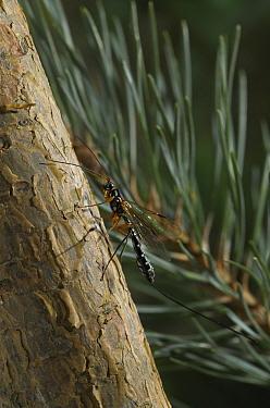 Sabre Wasp (Rhyssa persuasoria) parasitic of the Giant Wood Wasp (Urocerus gigas), England  -  Stephen Dalton