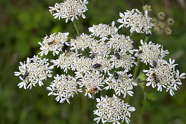 Stable Fly (Muscidae), Hoverfly (Syrphidae) and solitary wasp group feeding on hogweed nectar, Europe  -  Stephen Dalton