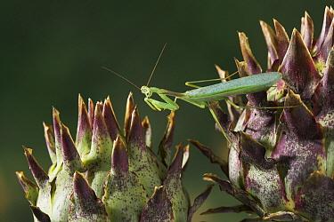 Praying Mantis (Mantis sp) on artichokes, Europe  -  Stephen Dalton
