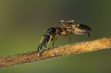 Ant-mimicking Jumping Spider (Myrmarachne sp) crawling on a branch, Asia  -  Stephen Dalton