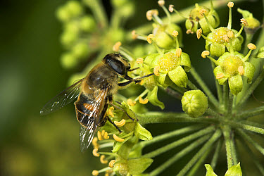 Drone Fly (Eristalis tenax) feeding on flower nectar, England  -  Stephen Dalton
