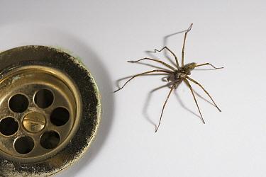 House Spider (Tegenaria atrica) male beside bath drain, worldwide distribution  -  Stephen Dalton