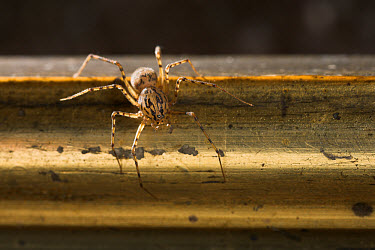 Spitting Spider (Scytodes thoracica) on picture frame, Europe  -  Stephen Dalton