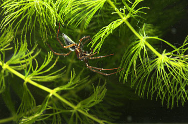 Water Spider (Argyroneta aquatica) clinging to plant showing collected air on abdomen, only spider that lives underwater, Europe  -  Stephen Dalton