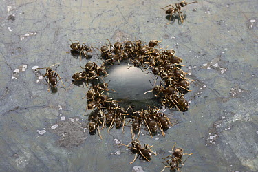 Ant (Formicidae) group feeding on drop of syrup on granite work surface, Sussex, England  -  Stephen Dalton