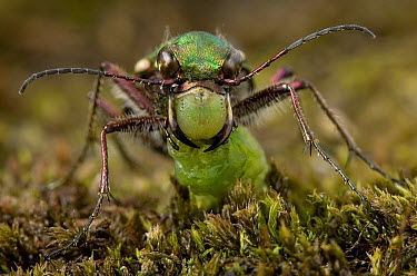 Green Tiger Beetle (Cicindela campestris) with caterpillar prey, England  -  Stephen Dalton