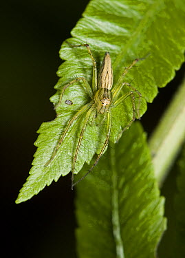 Lynx Spider (Oxyopidae) on leaf, Assam, India  -  Stephen Dalton