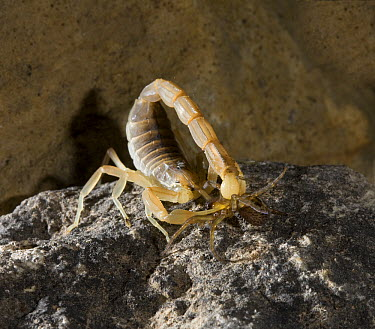 Common European Scorpion (Buthus occitanus) stinging Spider (Amaurobius sp), Spain  -  Stephen Dalton