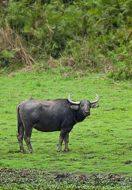 Water Buffalo (Bubalus arnee), Kaziranga National Park, India  -  Stephen Dalton