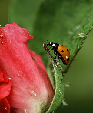 Seven-spotted Ladybird (Coccinella septempunctata) on rose, Sussex, England  -  Stephen Dalton