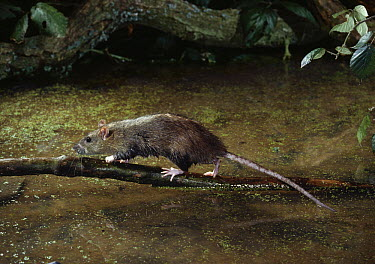 Brown Rat (Rattus norvegicus) walking on branch over water, Sussex, England  -  Stephen Dalton