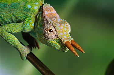 Cameroon Sailfin Chameleon (Chamaeleo montium), Cameroon  -  Stephen Dalton