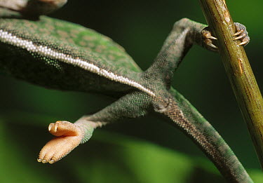 Jeweled Chameleon (Furcifer lateralis) on thin branch showing structure of feet, Madagascar  -  Stephen Dalton