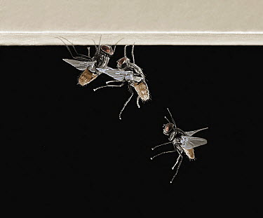 House Fly (Musca domestica) landing on ceiling, Sussex, England  -  Stephen Dalton