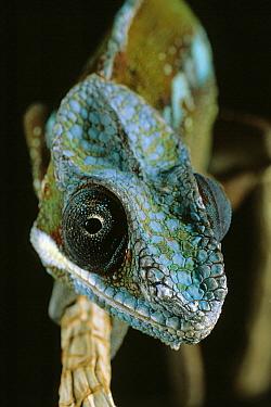 Panther Chameleon (Chamaeleo pardalis), northern Africa  -  Stephen Dalton