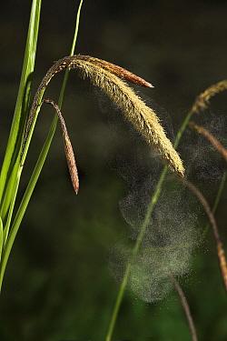 Pendulous Sedge (Carex pendula) dispersing pollen, Sussex, England  -  Stephen Dalton