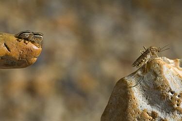 Jumping Spider (Phlegra fasciata) stalking mosquito prey, Sussex, England  -  Stephen Dalton