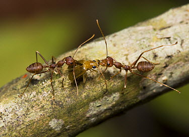 Ant (Formicidae) pair dragging beetle back to nest, Assam, India  -  Stephen Dalton