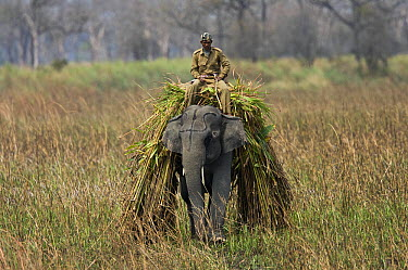 Asian Elephant (Elephas maximus) carrying its own food, Assam, India  -  Stephen Dalton