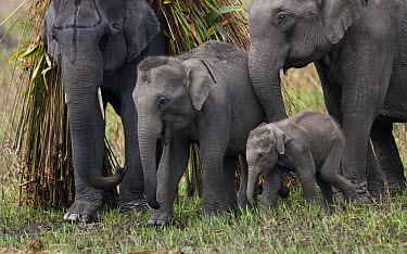 Asian Elephant (Elephas maximus) family of domesticated elephants, Assam, India  -  Stephen Dalton