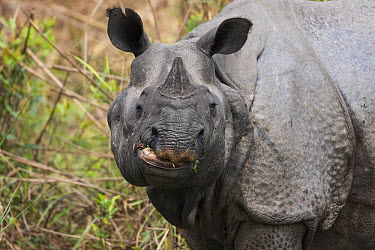 Indian Rhinoceros (Rhinoceros unicornis), Kaziranga National Park, Assam, India  -  Stephen Dalton
