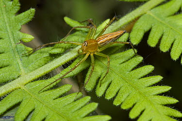 Lynx Spider (Oxyopidae), Assam, India  -  Stephen Dalton