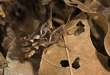 Grasshopper pair mating, Assam, India  -  Stephen Dalton
