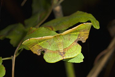 Saturniid Moth (Saturniidae) camouflaged against leaf, Assam, India  -  Stephen Dalton